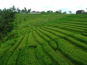 Rice Terraces. Photo Credit: Author